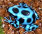 Dendrobates auratus Blue