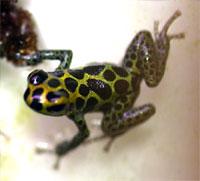 Dendrobates imitator Green