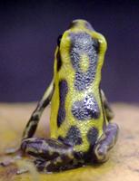 Dendrobates pumilio 'Guaruma'