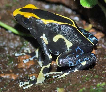 Dendrobates tinctorius 'Alanis'