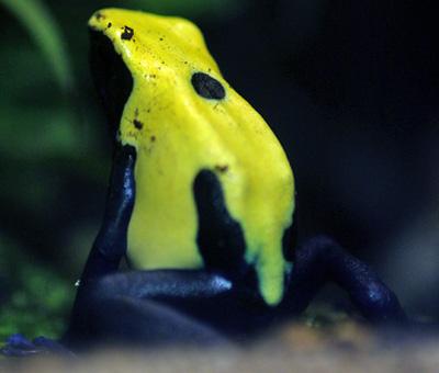 アイゾメヤドクガエルシトロネラ