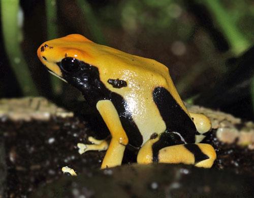 Dendrobates tinctorius Pic Matecho