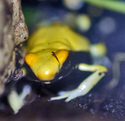 Dendrobates tinctorius 'Yellowback'