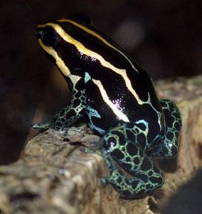 Dendrobates ventrimaculatus amazonicus