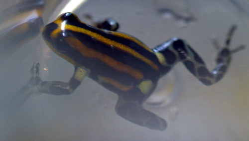 Dendrobates imitator 'Panguana Orange'