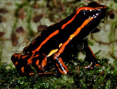 Epipedobates trivittatus</I> 'Orange spot'