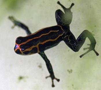 Dendrobates imitator yurimaguensis