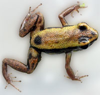 Phyllobates lugubris Golden Body