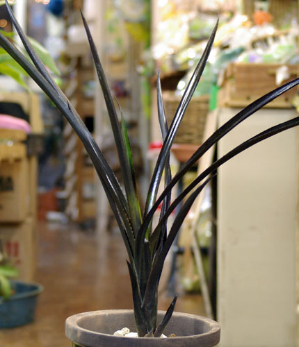 Aechmea Black on Black