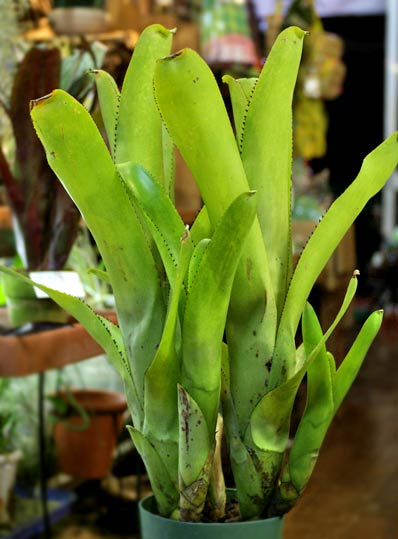 Aechmea nudicaulis 'Big John'