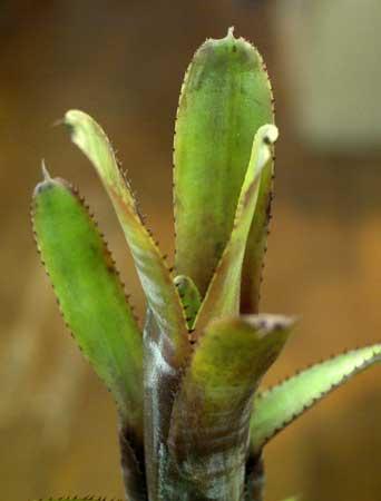 Aechmea nudicaulis var. cuspidata