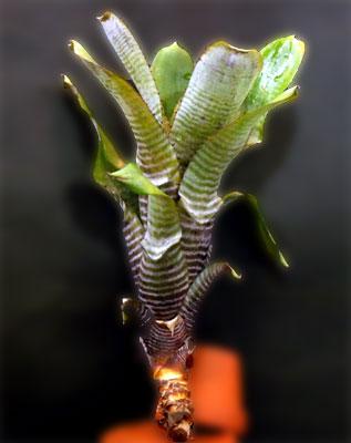 Aechmea nudicaulis 'Parati''