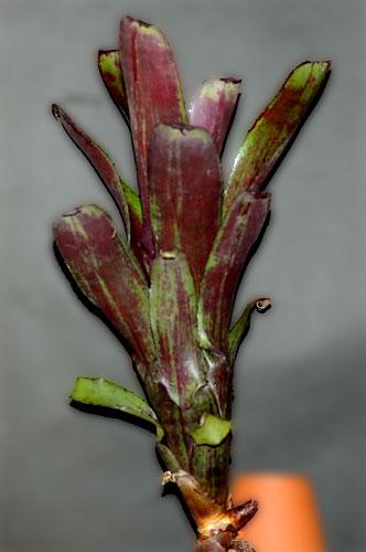 Aechmea nudicaulis var.capitata