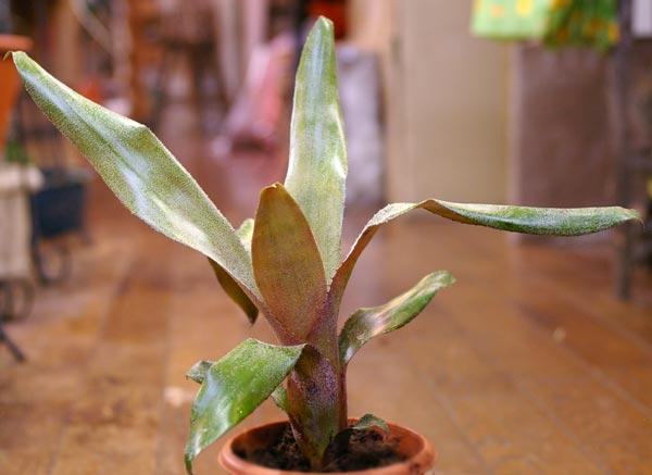 Aechmea roseliae