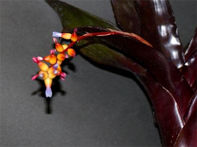 Aechmea seideriana var.purpurea