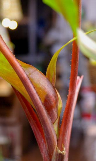 Aechmea tayoensis