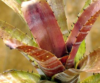 Billbergia horridum var.tigrina