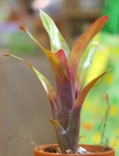 Billbergia 'Rosa'