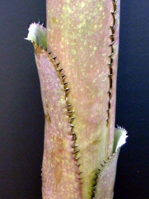 Billbergia 'Titan'