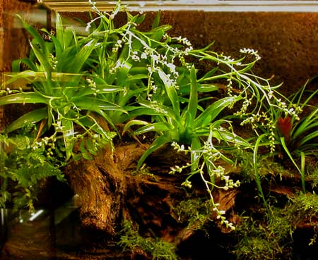 Catopsis morreana