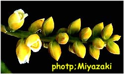 Catopsis sublata