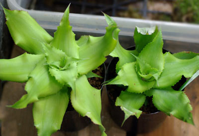 Cryptanthus acaulis