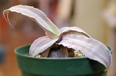 Cryptanthus argyrophilus