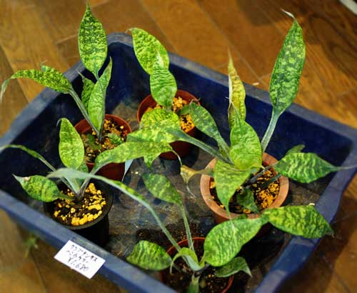 Cryptanthus beuckeri