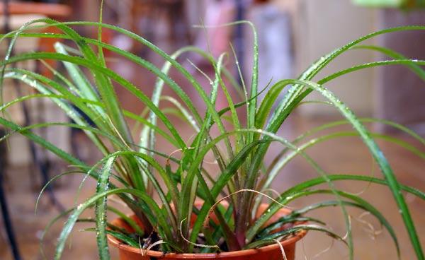 Cryptanthus colnagoi