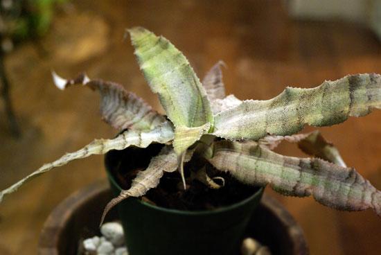 Cryptanthus dianae
