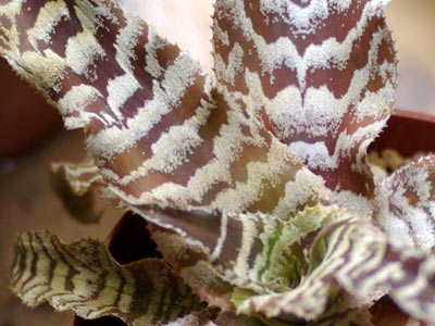 Cryptanthus 'Ice Age'