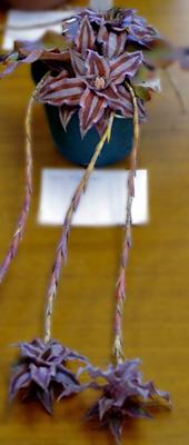 Cryptanthus lacerdae 'Menescal'