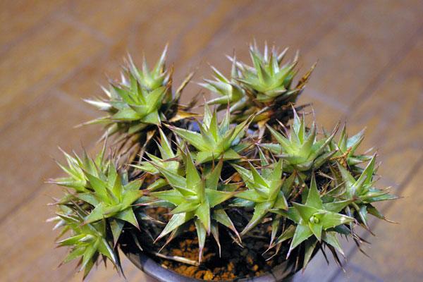 Deuterocohnia lorentziana