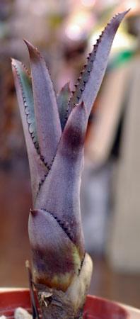 Hohenbergia catingae 'Purple Clone'