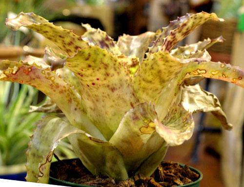 Hohenbergia burle-marxii