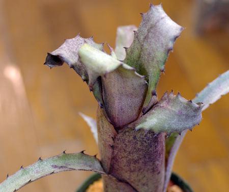 Hohenbergia sp. Sp Leme2203