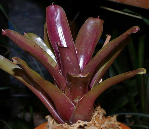 Neoregelia 'Red of Rio