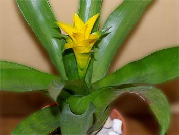 Nidularium billbergioides 'Yellow'