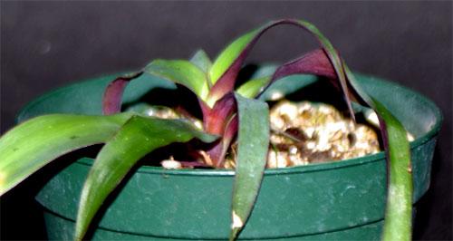 Pitcairnia burle-marxii