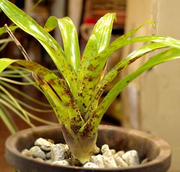 Racinaea spiculosa var.spiculosa