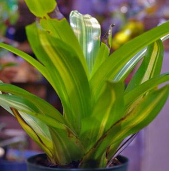 Vriesea philippo-coburgii 'Variegata'