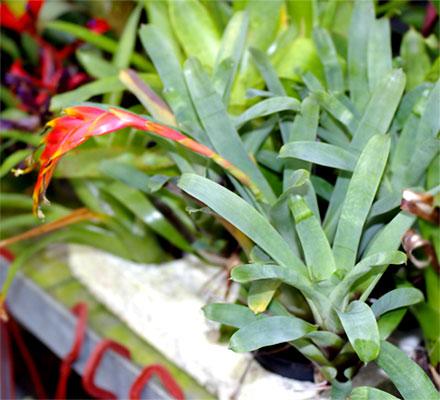 Vriesea species
