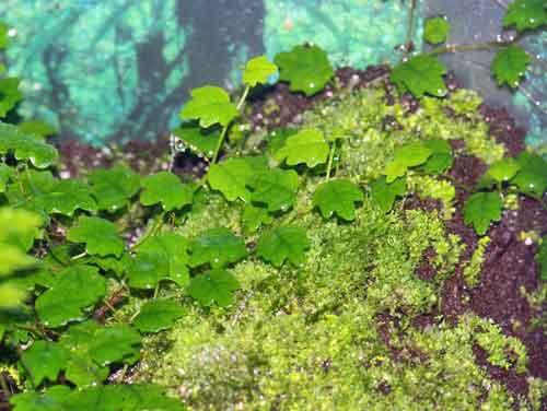 Ficus pimila var.quercifolia