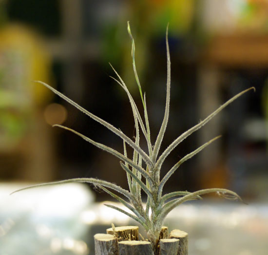 Tilllandsia bandensis
