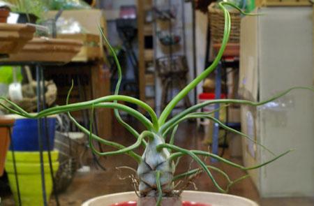 Tillandsia bulbosa 'Giant'