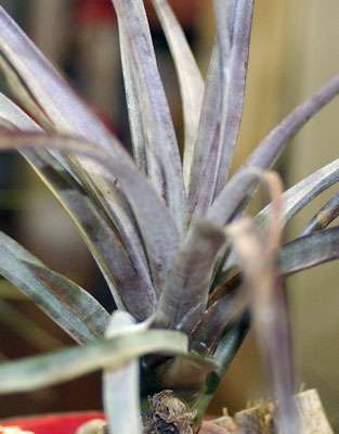 Tillandsia capitata 'Purple'