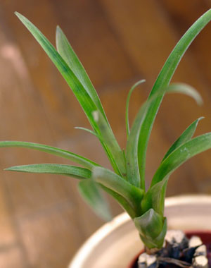 Tillandsia confinis(smallclone)