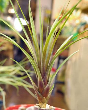 Tillandsia  coparaensis'
