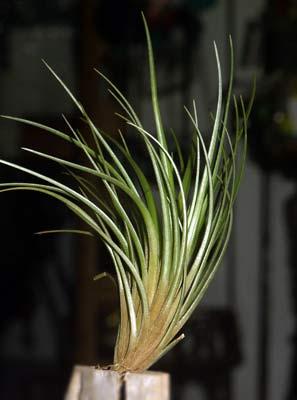 Tillandsia dura 'Large clone'