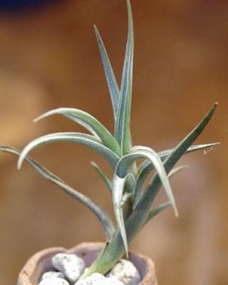 Tillandsia gerdae